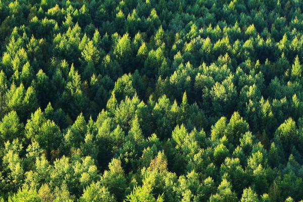 大兴安岭绿色落叶松松林
