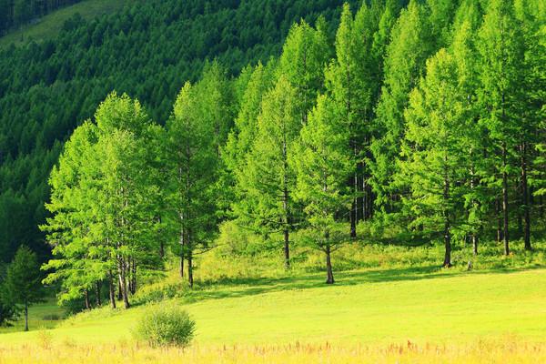 大兴安岭绿色松林