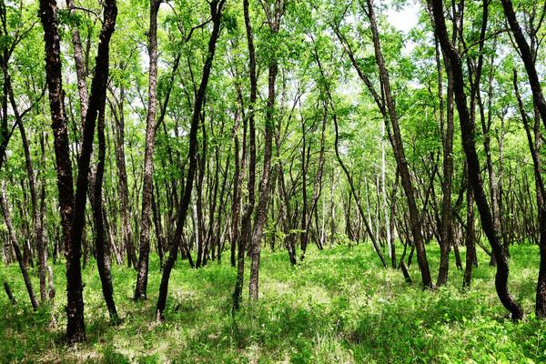 绿色原野黑桦林风景