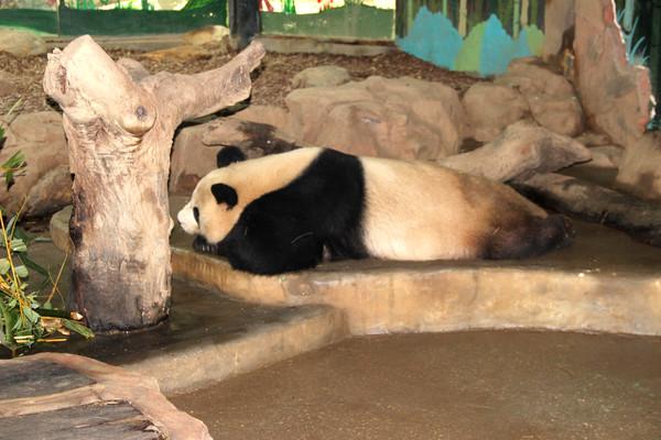 保护动物熊猫