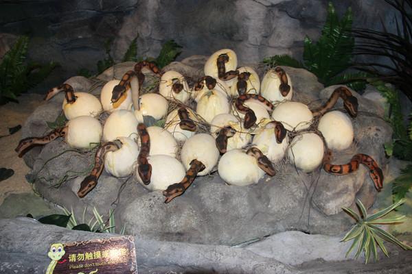 蛇蛋孵化动物模型