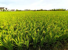 乡村稻田景色图