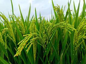 丰收稻谷稻米