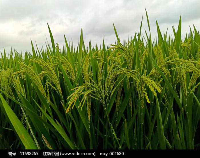 谷物稻米图片