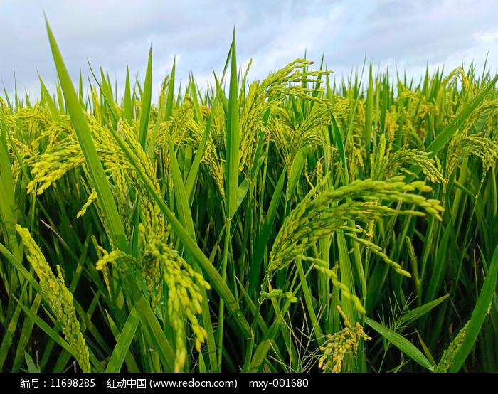 满田沉甸甸稻谷图片