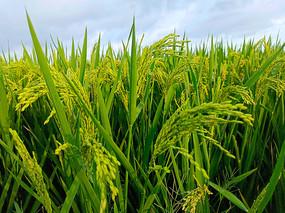 满田沉甸甸稻谷