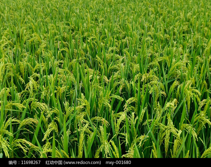 满田稻谷图图片