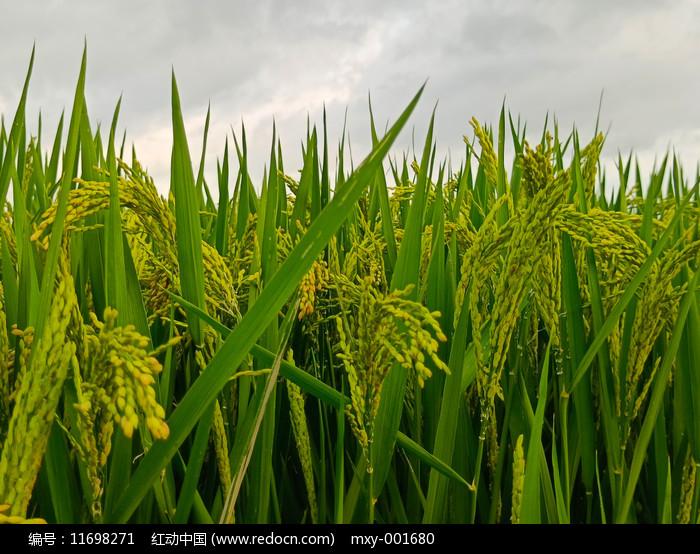满田丰收稻米图片