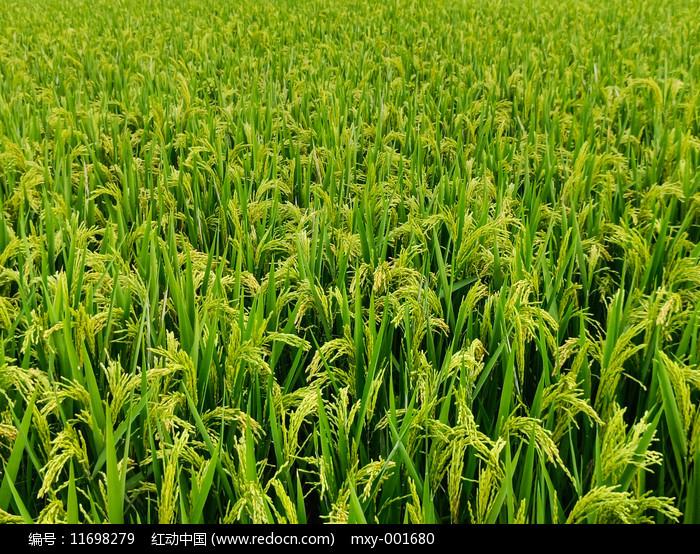 田地稻谷图片