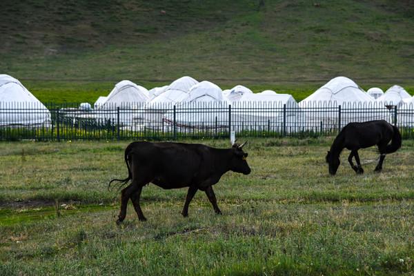 蒙古包外的牛