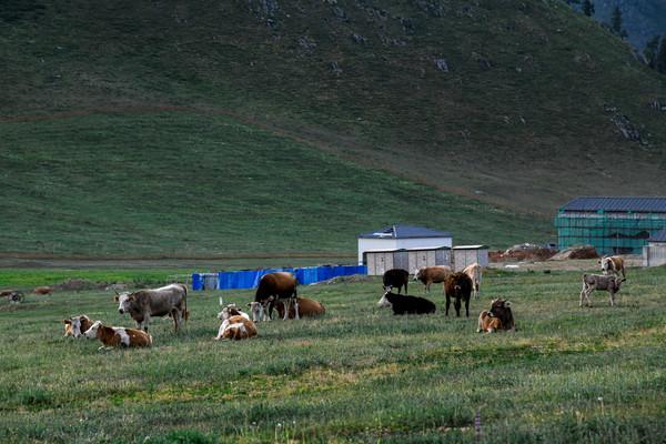 新疆牧场放牛