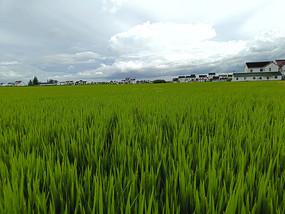 家乡绿稻田