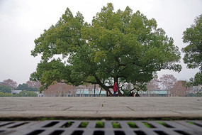 武汉大学校内的大树