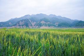 绿江村的麦田