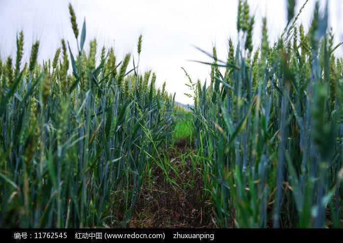 田野里的麦子图片