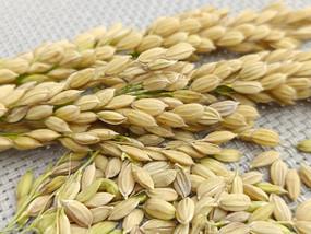 丰收稻壳稻米