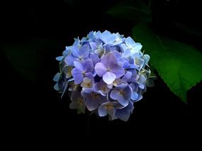 蓝色绣球花