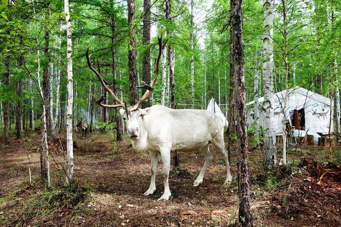大兴安岭白色驯鹿
