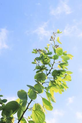 洋紫荆树叶蓝天白云